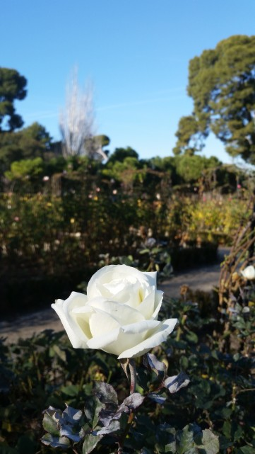 A rose in Winter, not to be confused with a Winter rose