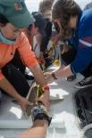 Measuring a blacknose shark