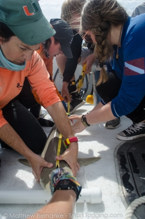 Measuring a blacknose shark